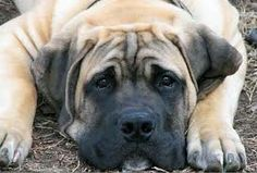 South African Boerboel Mastiff Puppy Dogs
