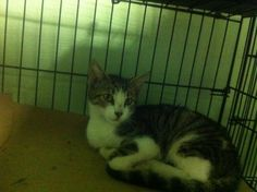 """EXTREMELY URGENT INDEED - Please rescue VELVETEEN! Funding available, Out of State rescues (501C3) welcome! Please PM all offers to the """"Urgent Cats of CCAC"""" Facebook Page. All about VELVETEEN:    https://www.facebook.com/296428980416840/photos/a.472968646096205.105383.296428980416840/802782676448132/?type=1&theater"""