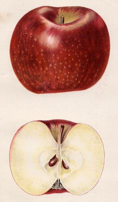 Apples — Original antique botanical fruit, 1893