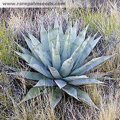 Agave deserti var. simplex