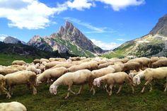 Schafe auf dem Falzarego Pass neben St. Kassian in Badia