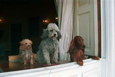 Richard Nixon's dogs King Timahoe, Vicky, and Pasha look out of a White House window: