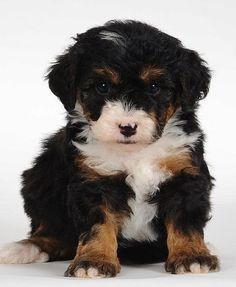St. Bernoodle pup!! xoxoxo