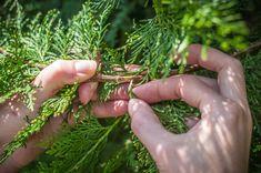 Krok za krokom: Jednoduchý návod, ako získať nové okrasné ihličnany z odrezkov - Pluska.sk Herbs, Plants, Herb, Plant, Spice, Planting, Planets