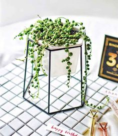 How to care for String of Pearls: 8 tips – The Geometric Planter Diy Hanging Planter, Hanging Succulents, Succulents Garden, Planting Flowers, Propagate Succulents, Garden Planters, Succulent Wedding Centerpieces, Purple Succulents, Plant Projects