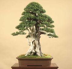 bonsai tree - Buscar con Google