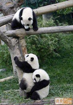 Simpatica fotografia de osos panda jugando  [4-2-17]