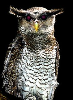Barred-eagle Owl | * Latin Name: Bubo Sumatranus * Indonesia… | Flickr
