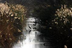 Nel parco del lago di Burano, oasi del WWF vicino ad Ansedonia  Airone cenerino poco dopo l'alba  a Capalbio Scalo14Nov2010 08.33