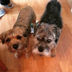 Border Terriers, Charlie and Skittles
