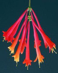 red-pink-color-design-trends-Honeysuckle-flower