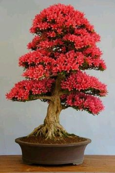 Amazing Bonsai Indoor Trees Ideas For Indoor Decorations 32 Flowering Bonsai Tree, Bonsai Tree Types, Bonsai Tree Care, Bonsai Plants, Bonsai Garden, Bonsai Trees, Japanese Bonsai Tree, Succulents Garden, Air Plants