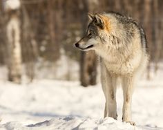 Gray Wolf ❖ Loup gris by Lucie Gagnon on 500px Copyright : Lucie Gagnon