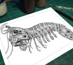 """PREVIEW #15: Intricate Ink Sketches 2 """"Your Ideas"""" A little shrimp that packs a HUGE punch!! The Mantis Shrimp. It's more like a Heavy Weight Boxer! This little shrimps throws a punch 50 times faster than the blink of an eye. With velocity of 10 meters per second, their punch has the power of a .22 caliber bullet! The their vivid coloring is out of this world! Thanks to Terence Zahner for his idea of the fascinating creature! #mantisshrimp #shrimp #nature #colouringbook #coloringbook…"""