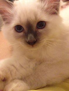 Blue Point Birman kitten, Pacino - louise van wyk