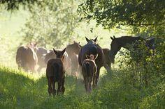 Horses in rural Finland.
