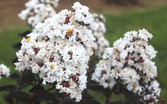 Ebony & Ivory is an exciting new Crape Myrtle hybrid that has the darkest black leaves we've seen on any Crape Myrtle, or any other shrub or tree for that matter! Darkest Black, Fast Growing Shrubs, Myrtle Tree, Black Leaves, Large Plants, Flowering Trees, Tree Decorations, Foundation, Ivory