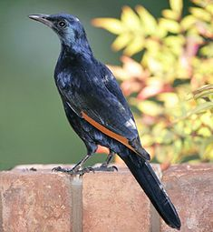 Red-winged Starling, east Africa from Ethiopia to Cape South Africa Tanzania, Kenya, South African Birds, Garden Birds, Bird Perch, Starling, Little Birds, East Africa, Wild Birds