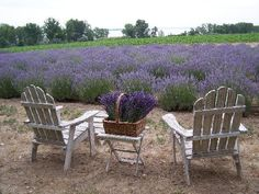 Lakeside Lavender Festival - It's an annual event close to home that warms my soul.