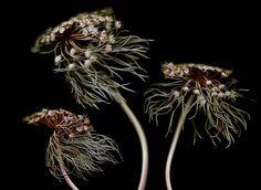 Daucus carota by Anne Hoerter or Aine