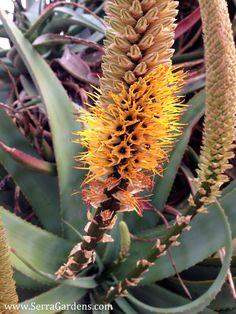 Aloe spicata: winter-blooming aloe. Many Aloes are winter bloomers and produce a spectacular flower show November-February.