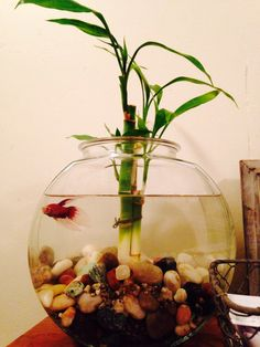 Beta fish and bamboo