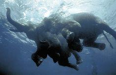 Como todos los mamíferos (a excepción de los humanos y los monos que deben aprenderlo), los elefantes pueden nadar desde su nacimiento. Aunque la mayoría no lo practica, los elefantes de las islas Andaman en el golfo de Bengala sí lo hacen a diario. Estas enorme criaturas ayudan a los madereros locales con el trabajo pesado de isla en isla, trayecto que realizan nadando.