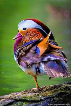 Wildlife Treasures, Mandarin Duck by giorgio debernardi Canard Mandarin, Mandarin Duck, Pretty Birds, Beautiful Birds, Animals Beautiful, Simply Beautiful, Beautiful Things, Beautiful Pictures, Nature Animals