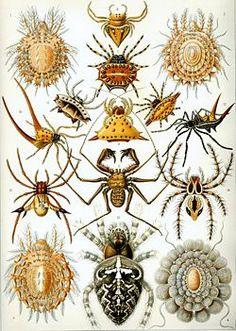 Arachnida by Ernst Haeckel