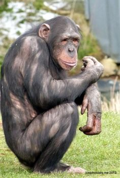 Chimpanzee sitting outside at Whipsnade Zoo