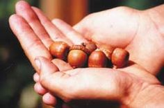 Fabulous article by Jackie Clay on the amazing uses for wild acorns! http://www.backwoodshome.com/articles2/clay79.html
