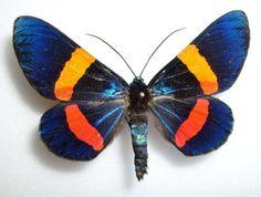 Milionia species