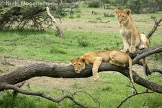 Two cubs relaxing in the Mara, Kenya.