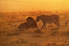 The Lion Couple - Phillip Chang