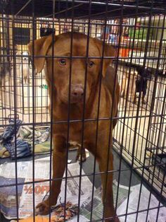 Harlow~ <3 Labrador Retriever • Adult • Male • Medium. PAWS Precious Animals Worth Saving Fowler, CA. HI Im Harlow and Im a chocolate lab mix..Im about 2 years old. Im medium in size and full grown. I am scared of women...I may have been abused. Email for app.
