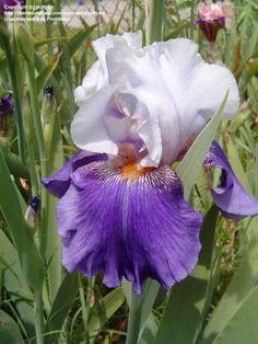 TB Iris germanica 'Painted Pictures' (Ernst, 1992)