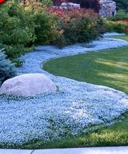 "Blue Star Creeper is a colorful, low-maintenance replacement for your lawn or pathways. Tight 3"" tall matts form to spread flowering carpets of blue flowers to 18"" wide in a single year."