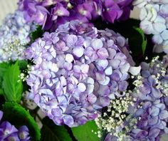 Lavender and Purple wedding hydrangeas. How to harvest and arrange fresh hydrangeas for your wedding.