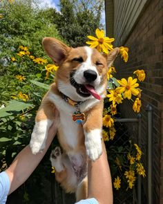 This cute corgi puppy will brighten your day. Dogs are awesome companions. Cute Corgi, Corgi Dog, Dog Cat, Cute Little Animals, Cute Funny Animals, Cute Dogs And Puppies, I Love Dogs, Dog Wallpaper, Cute Creatures