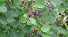 Mézédes korai gyümölcsünk a fagyarka gyermelyikert. Permaculture, Plants, Plant Species, Growing Plants, Native Plants, Perennials, Shrubs, Small Trees, Perennial Shrubs