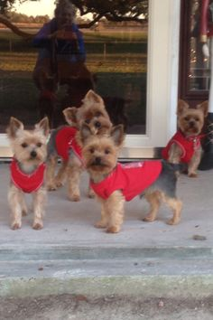 Christmas photo!! Yorkie, Yorkshire Terrier, Dog