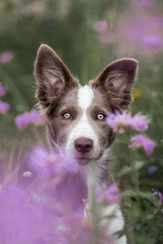 Border Collie in wildflowers