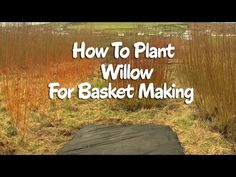 How to plant Willow for basket making
