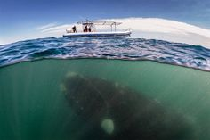 A southern right whale underneath the boat of whale watchers off the coast of Argentina in the Peninsula Valdez. By Justin Hofman