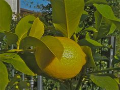 My lemon tree. Mozzanica (BG), Ottobre 2011