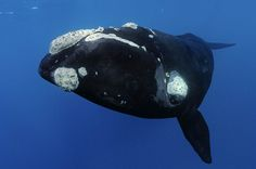 Right Whales « Brian Skerry Photography