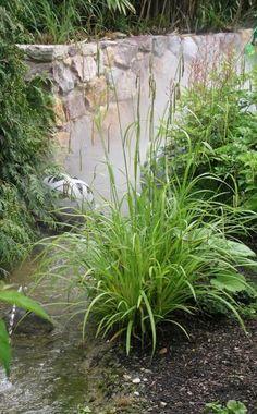 Riesen-Segge, Hängende Segge (Carex pendula)