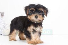 Yorkshire Terrier puppy for sale in NAPLES, FL. ADN-47988 on PuppyFinder.com Gender: Female. Age: 10 Weeks Old #yorkshireterrierpuppy