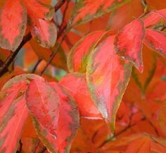 Simple search for information about garden plants, and places to find them Fiery Red, Autumn Garden, Fresh Green, Autumn Trees, Green Leaves, Container Gardening, Weed, White Camellia, Backyard
