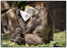 2012 Winner Zoos & Aquariums, Western Lowland Gorillas, San Diego Zoo Safari Park, California, USA by Laurie Rubin Natural World, Natural History, Equatorial Africa, Western Lowland Gorilla, Photography Competitions, Photography Awards, San Diego Zoo, Baboon, Primates